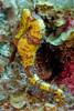 Longsnout Seahorse, pregnant male.
