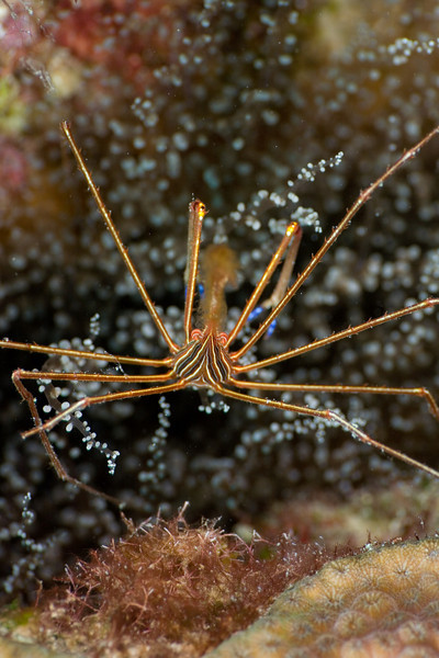 Golden Arrow Crab
