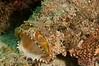 Yawning Spotted Scorpionfish