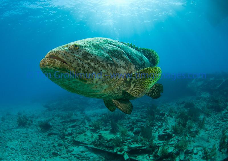 Goliath grouper in the light