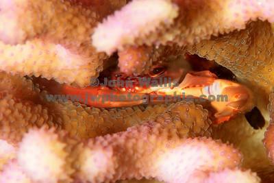 coral crab 1RN
