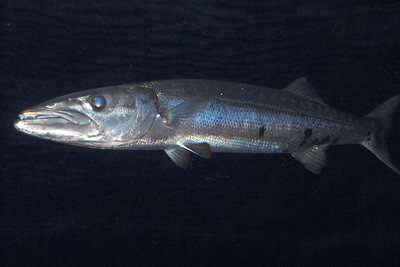 © Joseph Dougherty. All rights reserved.   Sphyraena barracuda (Edwards in Catesby, 1771) Great Barracuda   Great barracuda have an impressive arsenal of teeth and can strike with blinding speed.  They have been implicated in many provoked attacks on spearfishers and divers with shiny objects, but purely unprovoked attacks are quite rare.  Nonetheless, unprovoked attacks resulting in substantial injury have been reported.