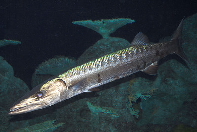 © Joseph Dougherty. All rights reserved.   Sphyraena barracuda (Edwards in Catesby, 1771) Great Barracuda  Actinopterygii, Perciformes, Sphyraenidae.  Great barracuda have an impressive arsenal of teeth and can strike with blinding speed.  They have been implicated in many provoked attacks on spearfishers and divers with shiny objects, but purely unprovoked attacks are quite rare.  Nonetheless, unprovoked attacks resulting in substantial injury have been reported.