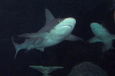 Sandbar Shark, Carcharhinus plumbeus.  The sandbar shark comes from the Carcharhinidae family of sharks, also called requiem sharks.  The sandbar shark is also called the thickskin shark or brown shark. It is one of the biggest coastal sharks in the world, and is closely related to the dusky shark, the bignose shark, and the bull shark. Its dorsal fin is triangular and very high, and weighs as much as 18% of the shark's whole body. Sandbar sharks usually have heavy-set bodies and rounded snouts that are shorter than the average shark's snout. Their upper teeth have broadly uneven cusps with sharp edges. Its second dorsal fin and anal fin are close to the same height. Females can grow to 2/2.5 m, males up to 1.8 m. Its body color can vary from a bluish to a brownish grey to a bronze, with a white or pale underside. Sandbar sharks swim alone or gather in sex-segregated schools that vary in size. They are most active at night, at dawn, and at dusk.