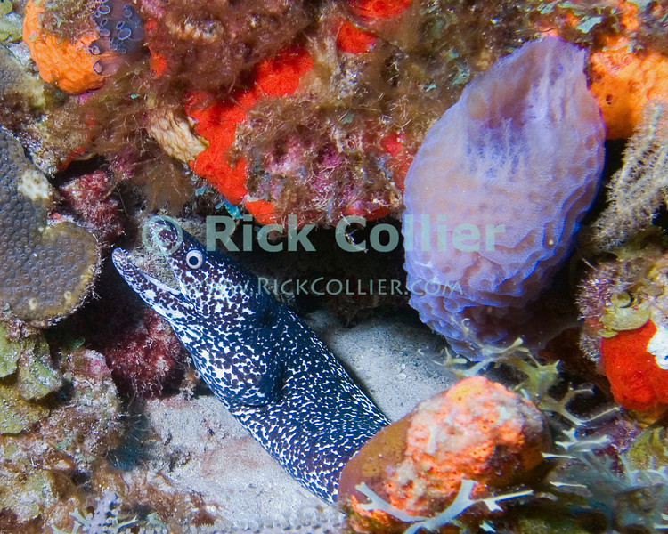 "This spotted moray eel has found shelter in a hole at the bottom of the reef, near a translucent purple basket sponge.  St. Eustatius (Statia), Netherlands Antilles.<br /> <br /> <br /> <br /> <br /> ""St. Eustatius"" ""Saint Eustatius"" Statia Netherlands Antilles ""Lesser Antilles"" Caribbean SCUBA dive diver sea bottom sea floor sand rock coral sponge sponges basket sponge spotted moray eel"