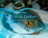"Red Sea, Egypt -- The blue-spotted stingray is common in the Red Sea. © Rick Collier / RickCollier.com.<br /> <br /> <br /> <br /> Egypt; ""Red Sea""; vacation; travel; destination; underwater; uw; ""u/w""; scuba; ""scuba dive""; ""scuba diving""; dive; diving; coral; reef; ""coral reef""; ""dive site""; Tiran; ""Tiran straits""; ""straits of Tiran""; ""Woodhouse Reef""; Woodhouse; ray; stingray; ""sting ray""; ""blue spot stingray""; ""blue spotted stingray"""