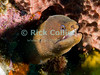 "Diving Bonaire, Netherland Antilles -- A small golden moray eel watches nervously from a hole in the reef.  (""The Invisibles"" dive site)  © Rick Collier<br /> <br /> <br /> <br /> <br /> Bonaire; ""Netherlands Antilles""; Caribbean; tropic; tropical; vacation; destination; underwater; scuba; diving; dive; ""scuba diving""; eel; moray; ""moray eel""; ""golden moray eel""; sponge; reef; coral;"