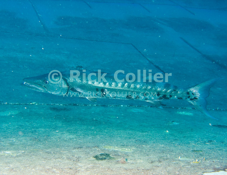 St. Eustatius (Statia) Underwater - The great barracuda that lives on the wreck of the Charlie Brown.  (The MV Charles D. Brown was an ATT cable-laying ship until it was purposely sunken in 1983 as a dive site.)  © Rick Collier