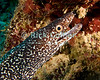 "Diving Bonaire, Netherland Antilles -- A spotted moray eel cautiously watches the photographer, ready to quickly withdraw into his hole in the reef.  (""Oil Slick Leap"" dive site)   © Rick Collier<br /> <br /> <br /> <br /> <br /> Bonaire; ""Netherlands Antilles""; Caribbean; tropic; tropical; vacation; destination; diving; underwater; dive; scuba; ""scuba diving""; ""oil slick leap""; reef; coral; eel; moray; ""moray eel""; ""spotted moray""; ""spotted moray eel"";"