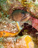 "The Moray eel is common at dive sites all over the Caribbean.  Here is a Green Moray Eel, looking out of a hiding place in the reef, his hiding place framed by orange cup corals.  Taken while scuba diving the ""Chasbo's Corner"" dive site at Turneffe Atoll, Belize.  © Rick Collier"