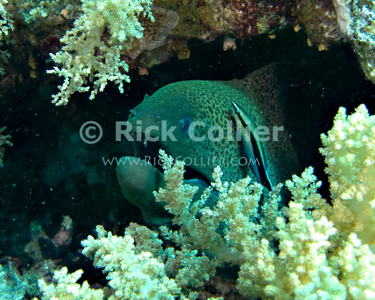 "Red Sea, Egypt -- A giant moray eel rests in the cleaning station while the resident common Red Sea cleaner wrasse plys its trade, eating parasites and small hitchikers off of the eel. © Rick Collier / RickCollier.com.<br /> <br /> <br /> <br /> <br /> <br /> Egypt; ""Red Sea""; vacation; travel; destination; underwater; uw; ""u/w""; scuba; ""scuba dive""; ""scuba diving""; dive; diving; coral; reef; ""coral reef""; ""dive site""; ""Ras Muhammad""; ""Ras Mohamed""; ""national park""; ""underwater park""; ""Ras Muhammad National Park""; ""nature reserve""; Yolanda; ""Yolanda reef""; eel; moray; ""moray eel""; ""giant moray eel""; fish; wrasse; cleaner; ""cleaner wrasse""; ""Red Sea cleaner wrasse""; ""cleaner fish""; ""cleaning station"""