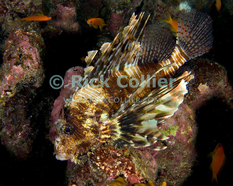 "Red Sea, Egypt -- This common lionfish (also called ""turkeyfish""), resting on a rock on the reef, seems not to be bothered by the photographer's close presence.  The sharp spines in the lionfish's fins are poisonous, and are its primary defense from predators.  When approached or threatened, the lionfish will spread its fins wide and seek to turn its face towards the reef, so that a potential attacker is presented with an array of poisonous spines. © Rick Collier / RickCollier.com.<br /> <br /> <br /> <br /> <br /> <br /> <br /> Egypt; ""Red Sea""; vacation; travel; destination; underwater; uw; ""u/w""; scuba; ""scuba dive""; ""scuba diving""; dive; diving; coral; reef; ""coral reef""; ""dive site""; Tiran; ""Tiran straits""; ""straits of Tiran""; ""Ras Nasrani""; Nasrani; ""Nasrani point""; fish; lion; ""lion fish""; lionfish; ""turkey fish""; turkeyfish; ""common lionfish"""