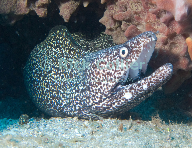 St. Eustatius (Statia) Underwater - This spotted moray eel was not at all shy.  Though morays will often withdraw from a scuba diver, as I settled on the bottom, this one came out of his hole in the reef to look me over.  © Rick Collier