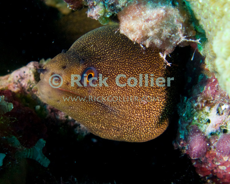 "Diving Bonaire, Netherland Antilles -- A small golden moray eel cautiously watches the photographer from his hole under a small coral head.  (""Andrea 2"" dive site)   © Rick Collier<br /> <br /> <br /> <br /> <br /> Bonaire; ""Netherlands Antilles""; Caribbean; tropic; tropical; vacation; destination; diving; underwater; dive; scuba; ""scuba diving""; ""Andrea 2""; ""Andrea II""; reef; coral; eel; moray; ""moray eel""; ""golden moray""; ""golden moray eel"";"