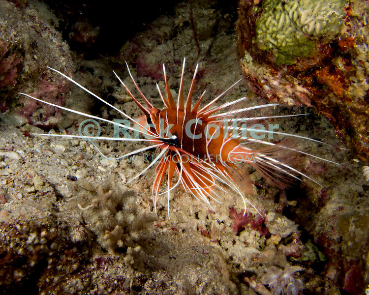 "Red Sea, Egypt -- A clearfin lionfish turns for a hole in the coral reef, avoiding the diver's lights.  The sharp spines in the lionfish's fins are poisonous, and are its primary defense from predators.  When approached or threatened, the lionfish will spread its fins wide and seek to turn its face towards the reef, so that a potential attacker is presented with an array of poisonous spines. © Rick Collier / RickCollier.com.<br /> <br /> <br /> <br /> <br /> <br /> <br /> Egypt; ""Red Sea""; vacation; travel; destination; underwater; uw; ""u/w""; scuba; ""scuba dive""; ""scuba diving""; dive; diving; coral; reef; ""coral reef""; ""dive site""; Sharm; ""Sharm el-Sheikh""; ""Sharm al-Shaykh""; Paradise; fish; lionfish; ""clearfin lionfish""; ""clear fin lionfish""; night; ""night dive"""
