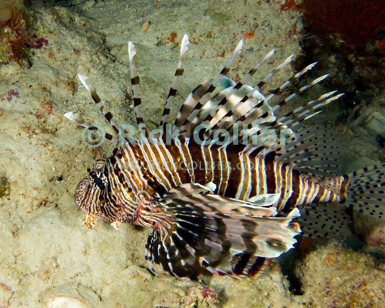 "Red Sea, Egypt -- The common lionfish, also known by some as the turkeyfish, is common in the Red Sea.  The sharp spines in the lionfish's fins are poisonous, and are its primary defense from predators.  When approached or threatened, the lionfish will spread its fins wide and seek to turn its face towards the reef, so that a potential attacker is presented with an array of poisonous spines. © Rick Collier / RickCollier.com.<br /> <br /> <br /> <br /> Egypt; ""Red Sea""; vacation; travel; destination; underwater; uw; ""u/w""; scuba; ""scuba dive""; ""scuba diving""; dive; diving; coral; reef; ""coral reef""; ""dive site""; Tiran; ""Tiran straits""; ""straits of Tiran""; ""Woodhouse Reef""; Woodhouse; fish; lion; ""lion fish""; lionfish; ""turkey fish""; turkeyfish; ""common lionfish"""