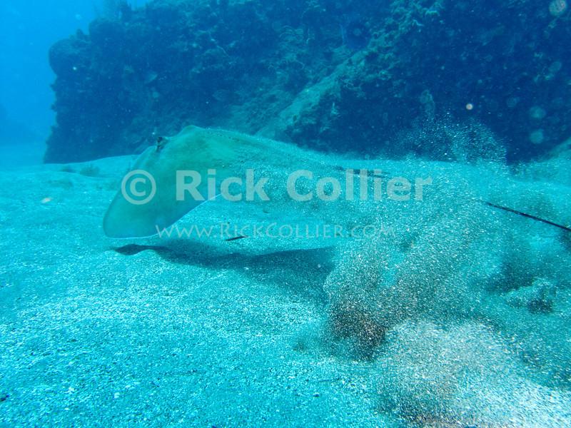 "A stingray ""breaks cover"" to swim away from divers.  St. Eustatius (Statia), Netherlands Antilles.<br /> <br /> <br /> <br /> <br /> ""St. Eustatius"" ""Saint Eustatius"" Statia Netherlands Antilles ""Lesser Antilles"" Caribbean underwater diving ocean SCUBA dive sand sandy bottom ocean floor sea bed stingray"