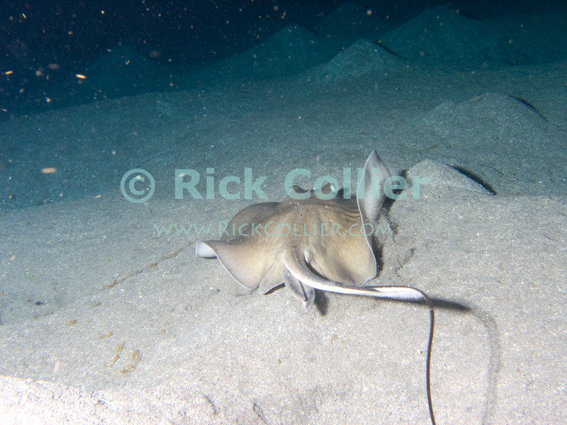 "A stingray is surprised by divers at night, and leaves.  St. Eustatius (Statia), Netherlands Antilles.<br /> <br /> <br /> <br /> <br /> ""St. Eustatius"" ""Saint Eustatius"" Statia Netherlands Antilles ""Lesser Antilles"" Caribbean SCUBA dive diver sea bottom sea floor rocks sand ray stingray"