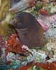"A small green moray eel emerges from a hole in the reef.  St. Eustatius (Statia), Netherlands Antilles.<br /> <br /> <br /> <br /> <br /> ""St. Eustatius"" ""Saint Eustatius"" Statia Netherlands Antilles ""Lesser Antilles"" Caribbean SCUBA dive diver sea bottom sea floor sand reef coral rock rocks hole hide green moray eel"