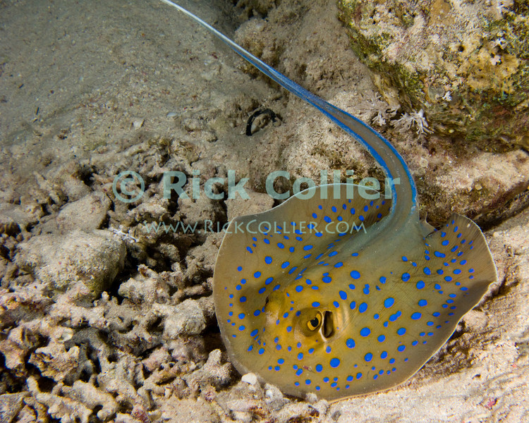 "Red Sea, Egypt -- A small blue spotted stingray hunts on the reef at night.   © Rick Collier / RickCollier.com.<br /> <br /> <br /> <br /> <br /> <br /> <br /> Egypt; ""Red Sea""; vacation; travel; destination; underwater; uw; ""u/w""; scuba; ""scuba dive""; ""scuba diving""; dive; diving; coral; reef; ""coral reef""; ""dive site""; Sharm; ""Sharm el-Sheikh""; ""Sharm al-Shaykh""; Paradise; stingray; ""sting ray""; ""blue spotted stingray""; ""blue spot stingray""; ""blue-spotted stingray"""