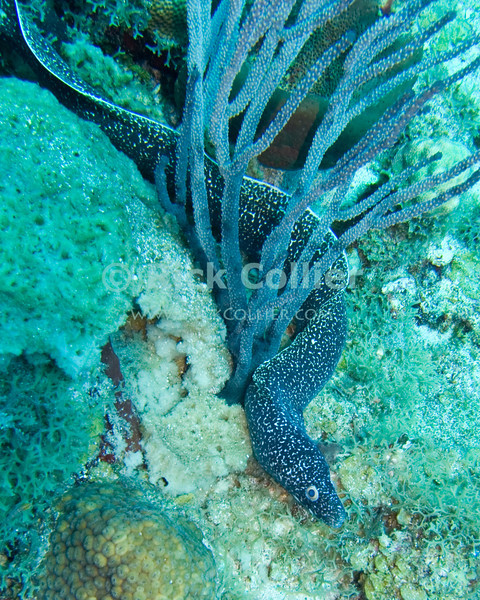 """A spotted moray eel forages along the reef top.  St. Eustatius (Statia), Netherlands Antilles.<br /> <br /> <br /> <br /> <br /> """"St. Eustatius"""" """"Saint Eustatius"""" Statia Netherlands Antilles """"Lesser Antilles"""" Caribbean underwater diving ocean SCUBA dive reef sand bottom sandy sea floor sea bed coral spotted moray eel"""