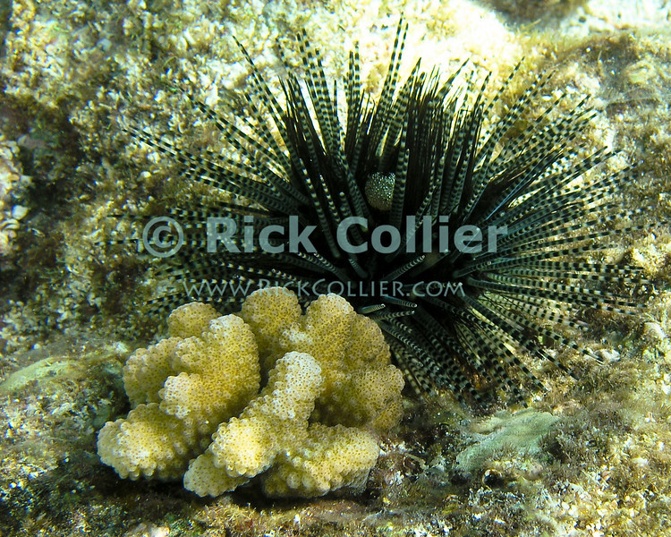"Kahaluu Beach, Kona, Hawaii -- An urchin has moved next to a small hard coral on top of a rock.  Among the spines on the upper side of the urchin is an egg mass.<br /> <br /> <br /> <br /> <br /> Hawaii; Kahaluu; Kona; US; snorkel; snorkeling; scuba; underwater; beach; urchin; ""sea urchin""; coral; egg; ""egg mass"";"