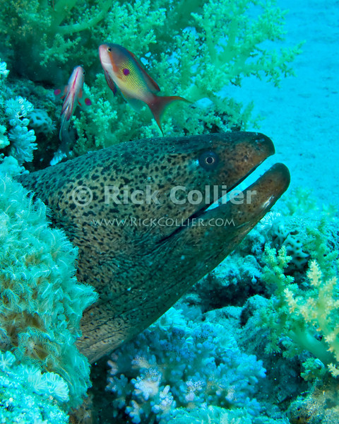 """Red Sea, Egypt -- A giant moray eel sticks his head out of a hole in the reef, ignoring the many colorful scalefin antheas swimming around his head. © Rick Collier / RickCollier.com.<br /> <br /> <br /> <br /> <br /> <br /> <br /> Egypt; """"Red Sea""""; vacation; travel; destination; underwater; uw; """"u/w""""; scuba; """"scuba dive""""; """"scuba diving""""; dive; diving; coral; reef; """"coral reef""""; """"dive site""""; """"Ras Muhammad""""; """"Ras Mohamed""""; """"national park""""; """"underwater park""""; """"Ras Muhammad National Park""""; """"nature reserve""""; Gazlani; """"Ras Gazlani""""; point; """"Gazlani Point""""; moray; eel; """"moray eel""""; """"giant moray""""; """"giant moray eel""""; fish; anthea; """"scalefin anthea"""";"""
