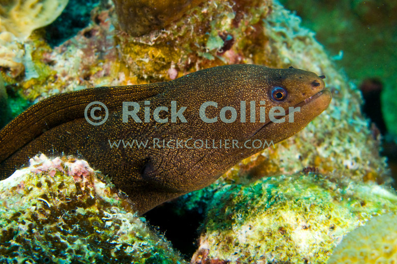 "Diving Bonaire, Netherland Antilles -- A small golden moray eel cautiously watches the photographer from his hole in the reef.  (""Oil Slick Leap"" dive site)   © Rick Collier<br /> <br /> <br /> <br /> <br /> Bonaire; ""Netherlands Antilles""; Caribbean; tropic; tropical; vacation; destination; diving; underwater; dive; scuba; ""scuba diving""; ""oil slick leap""; reef; coral; eel; moray; ""moray eel""; ""golden moray""; ""golden moray eel"";"