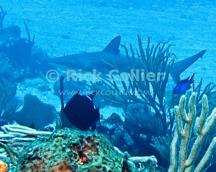 "A reef shark swims past.  St. Eustatius (Statia), Netherlands Antilles.<br /> <br /> <br /> <br /> <br /> ""St. Eustatius"" ""Saint Eustatius"" Statia Netherlands Antilles ""Lesser Antilles"" Caribbean underwater diving ocean SCUBA dive reef coral sand bottom sea floor shark"