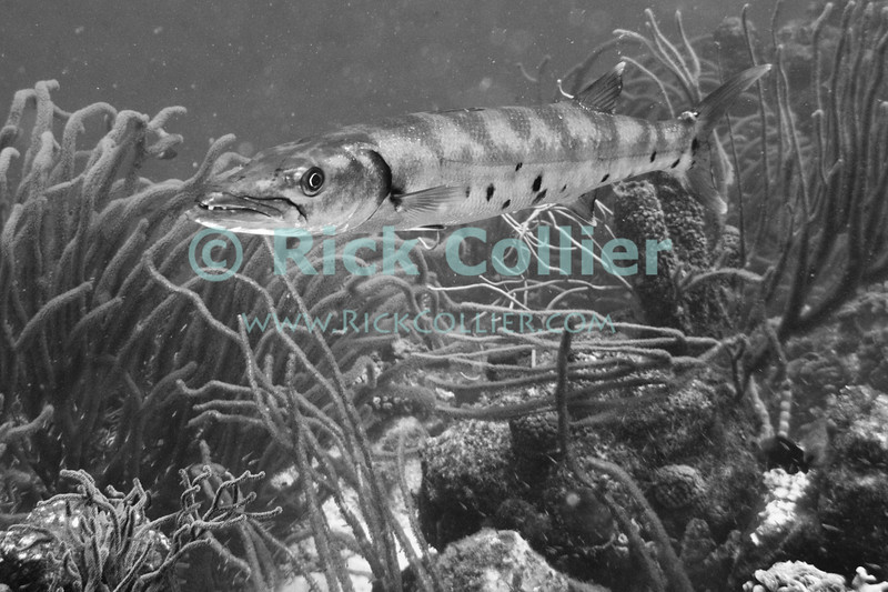 "Diving Bonaire, Netherland Antilles -- A great barracuda checks out the photographer.  (""Andrea 1"" dive site)  © Rick Collier<br /> <br /> <br /> <br /> <br /> Bonaire; ""Netherlands Antilles""; Caribbean; tropic; tropical; vacation; destination; scuba; diving; dive; ""scuba diving""; ""Andrea 1""; ""Andrea I""; fish; reef; coral; barracuda; ""great barracuda"";"
