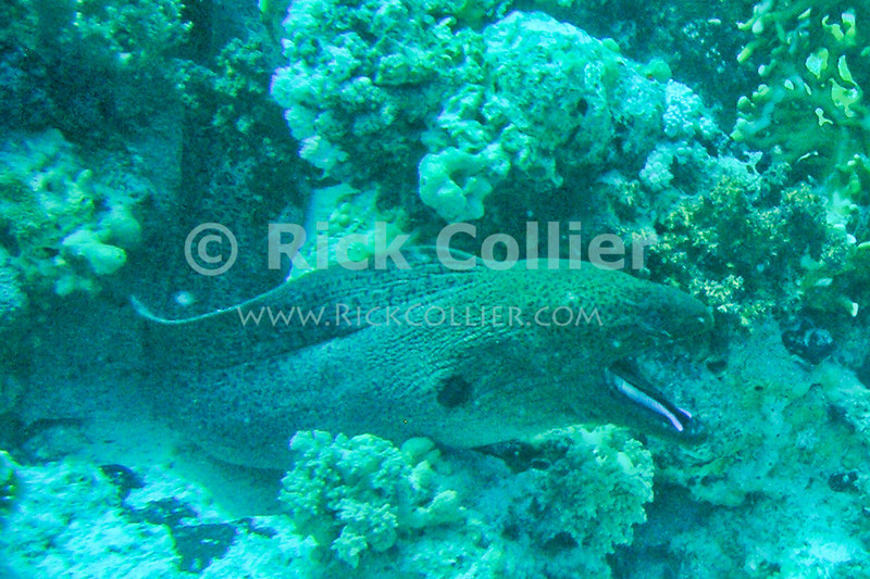 Red Sea, Sharm el-Sheikh, Egypt.  A cleaner wrasse ventures into the mouth of a giant moray eel, which holds its mouth open to be cleaned.  The wrasse is not harmed, and soon emerges.  © Rick Collier<br /> <br /> <br /> <br /> <br /> <br /> scuba diver divers Egypt 'Red Sea' 'Ras Mohammed' Sharm 'Sharm el-Sheikh' 'Sharm al-Shaykh' underwater u/w blue coral reef giant moray eel cleaner wrasse fish