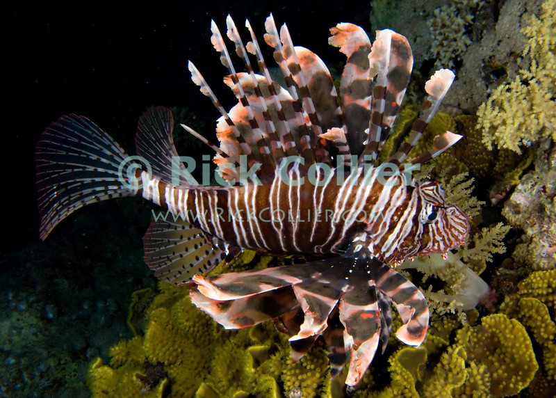 "Red Sea, Egypt -- A common lionfish (also known as a turkeyfish) hunts among soft corals on the reef at night.  The sharp spines in the lionfish's fins are poisonous, and are its primary defense from predators.  When approached or threatened, the lionfish will spread its fins wide and seek to turn its face towards the reef, so that a potential attacker is presented with an array of poisonous spines. © Rick Collier / RickCollier.com.<br /> <br /> <br /> <br /> <br /> <br /> Egypt; ""Red Sea""; vacation; travel; destination; underwater; uw; ""u/w""; scuba; ""scuba dive""; ""scuba diving""; dive; diving; coral; reef; ""coral reef""; ""dive site""; Sharm; ""Sharm el-Sheikh""; ""Sharm al-Shaykh""; Paradise; fish; lionfish; ""lion fish""; ""common lion fish""; ""turkey fish""; turkeyfish;"