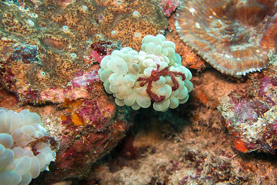 How about this little crab (about .5 inch) on the white sponge.