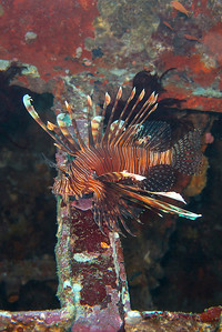 Beautiful lion fish inside of one of the Puerto Galera wreckages.