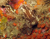 Barnacle eating nudibranch, Onchidoris bilamellata. These guy feed on acorn barnacles.