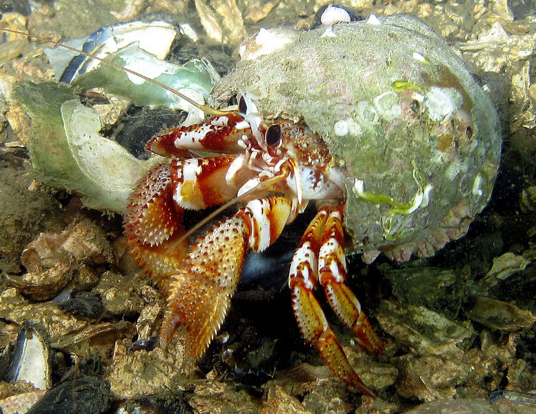 Black eyed hermit crab in a lewis's moon snail shell. He was squared off against the guy in the next frame disputing territory.
