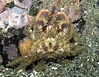 Pygmy rock crab, Cancer oregonensis in an unusual color patern