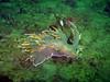 Dendronotus Iris