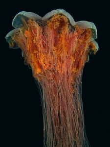 Lion's Mane Jellyfish - an underwater explosion of colour