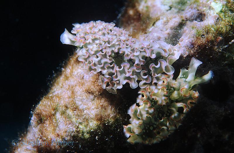 LETTUCE SEA SLUG - Blend in with various algae it feeds upon