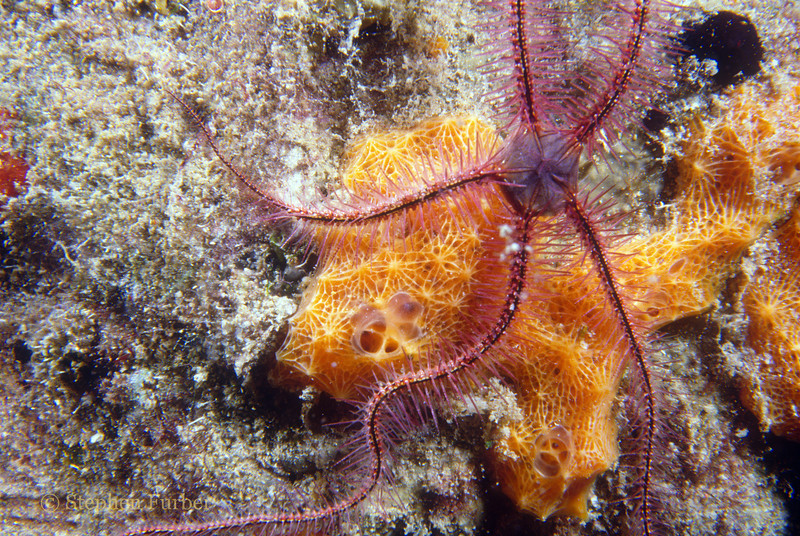 SPONGE BRITTLE STAR - Live on sponges, fire coral, gorgonians