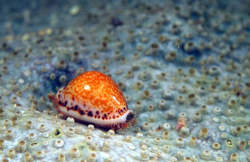 ATLANTIC YELLOW COWRIE - Rare; inhabit reef rubble and camouflage by extending mantle over shell