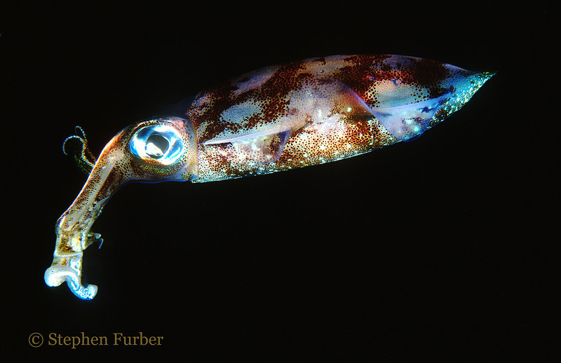 CARIBBEAN REEF SQUID - Color can vary greatly from day to night; may be iridescent