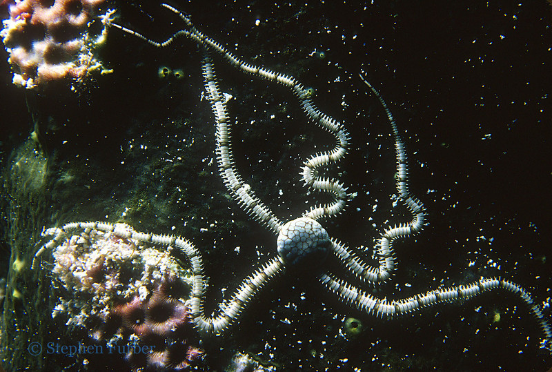 RETICULATED BRITTLE STAR - Hide under slabs of coral and rubble