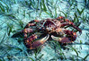 CHANNEL CLINGING CRAB - Reddish brown carapace and walking legs with purplish - gray color