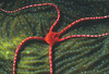 RUBY BRITTLE STAR - Inhabit deeper areas of reef; forage in the open at night