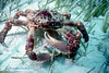 CHANNEL CLINGING CRAB - Relatively unafraid; also known as King Crab and Spider Crab