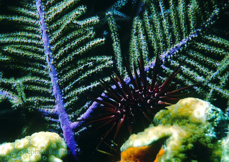 REEF URCHIN - Hide during day