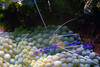 PEDERSON CLEANER SHRIMP - Live in association with a variety of anenomes