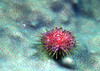JEWELED URCHIN